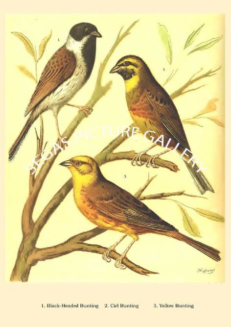 Fine art print of the Black Headed Bunting, Cirl Bunting, Yellow Bunting by the artist William Rutledge (1878)